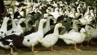 法國多個鴨場又發現H5N8禽流感病例,大批宰殺在即