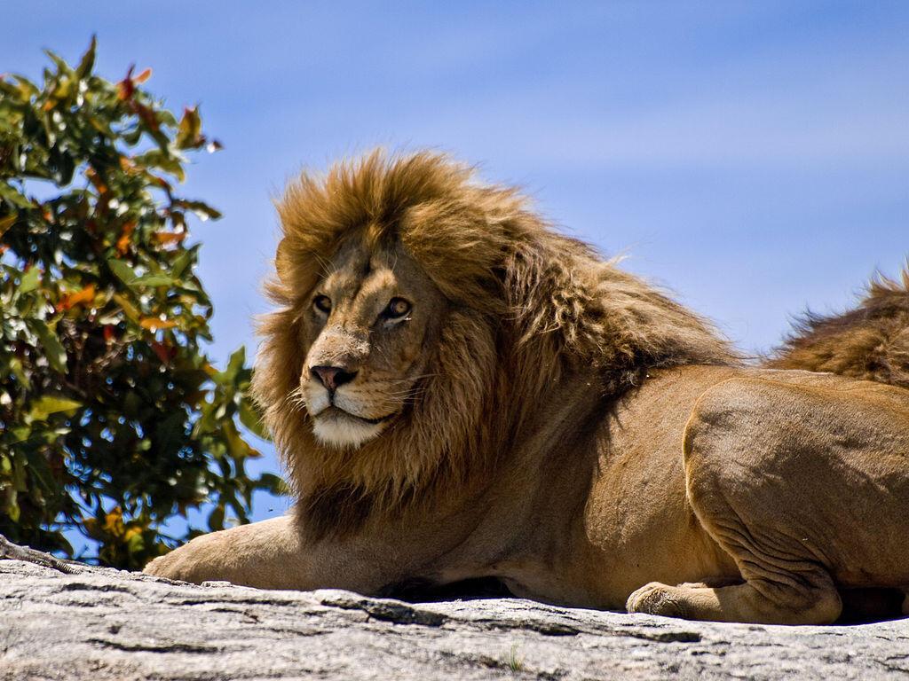 Un lion a semé la panique à Nairobi, capitale du Kenya. (Image d'illustration)
