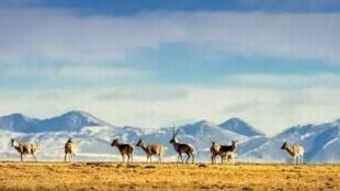 可可西里,藏羚羊。