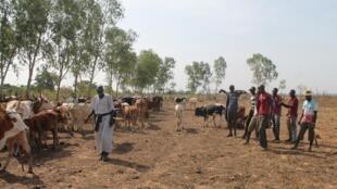Wasu makiyaya a yankin Guana, dake wajen birnin Bamako, na Mali. 5/11/2016.