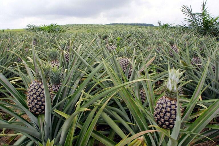 L'abus d'éthéphon pour colorer l'ananas au Bénin est sans doute lié à cette particularité variétale, mais aussi à la structuration encore imparfaite de la filière béninoise.