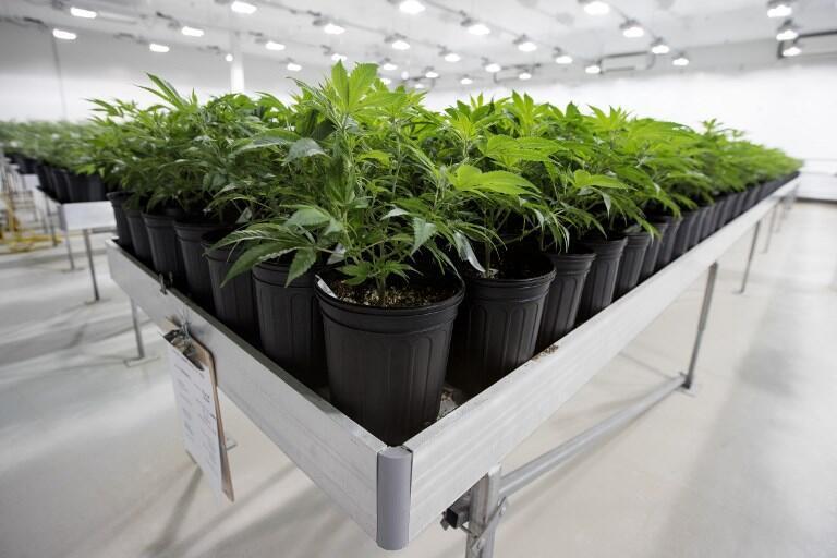 Des plants de cannabis médical dans une serre, dans la province de l'Ontario au Canada.