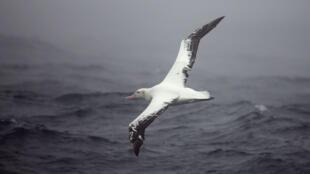 Un albatros vole au-dessus des mers Australes au large de l'archipel des Crozet.
