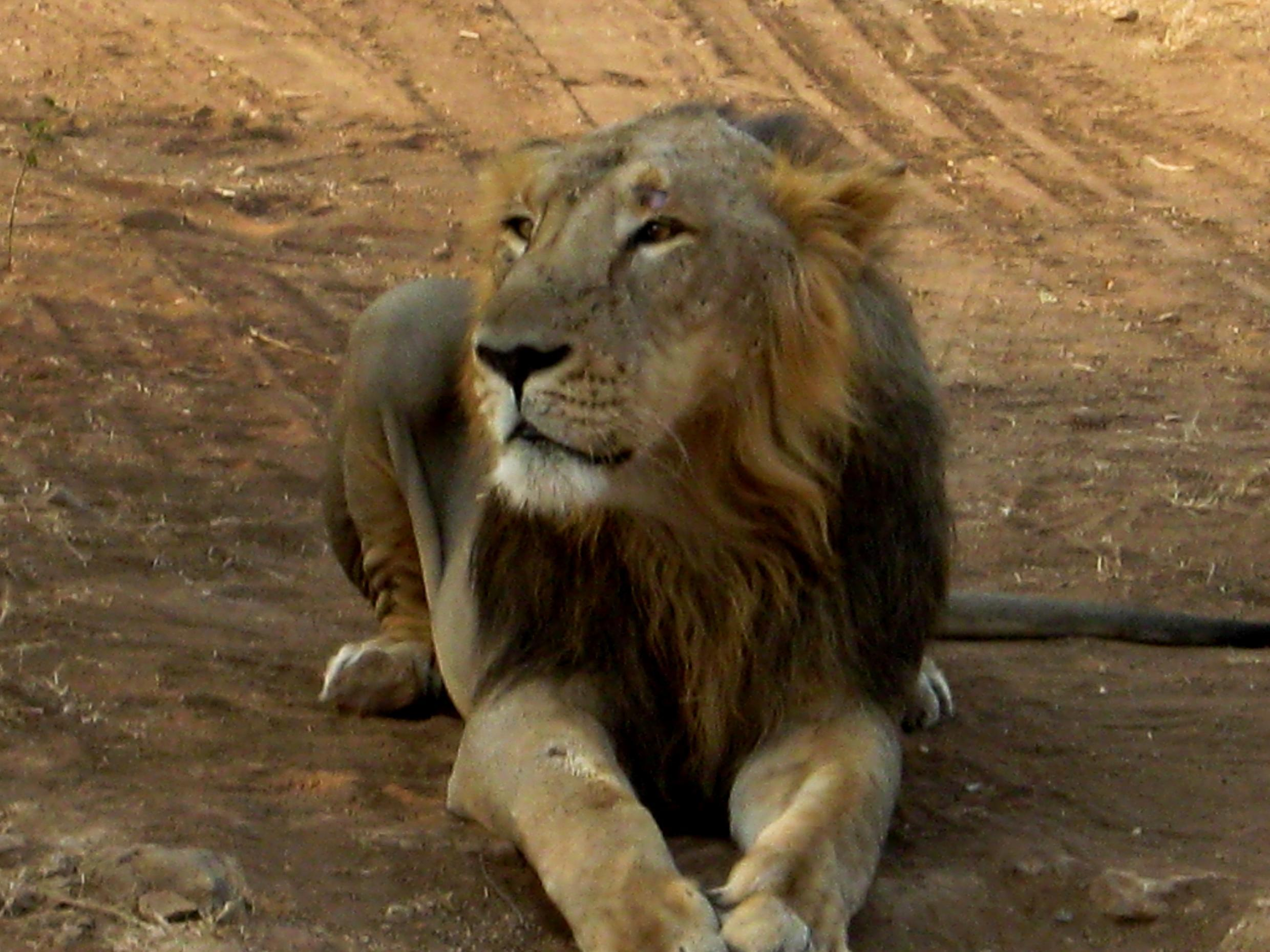 An Asiatic lion in the Gir forest, India