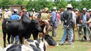 Des zébus au marché de Ambatolampy, à Madagascar.