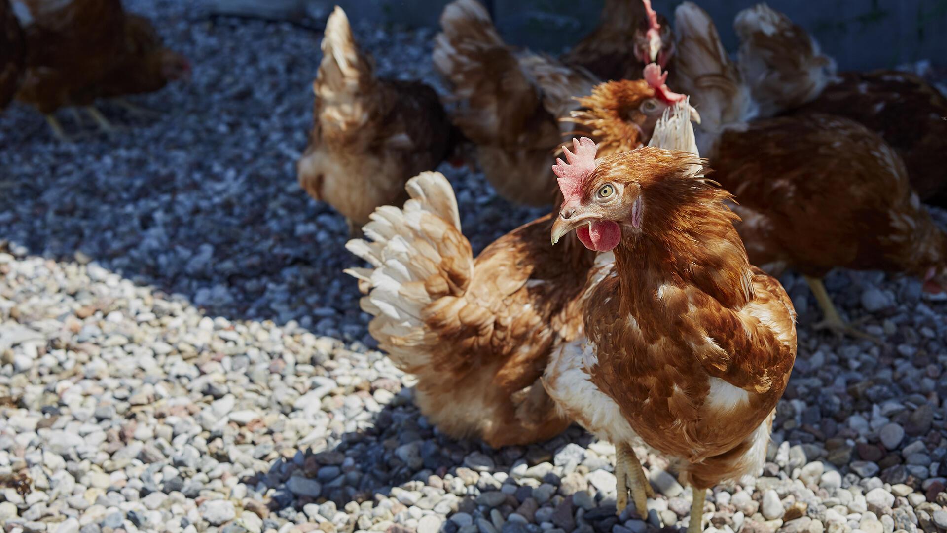 diapo10 pologne 14062021 - transition à l'élevage en plein air - place pour les poules