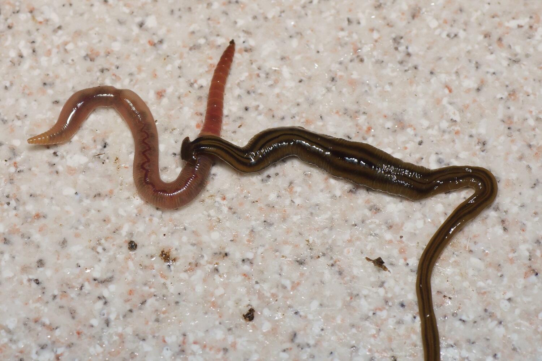 Un gusano plano gigante envenenado a una lombriz.