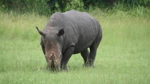 Un rRhinocéros en Côte d'Ivoire.