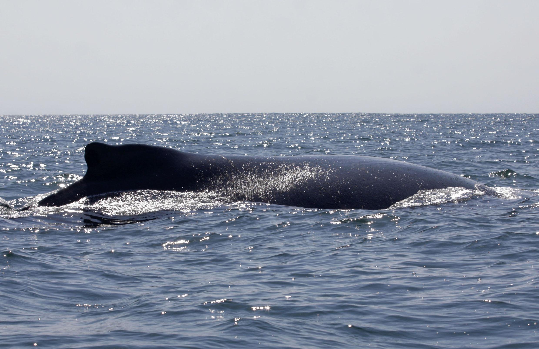 Caça a baleias para consumo é autorizada na Noruega e na Finlândia.