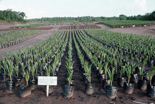 Image d'archive RFI : Entre le cocotier mis en terre et la première production