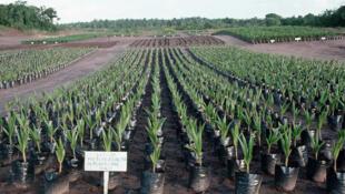 Entre le cocotier mis en terre et la première production, il va s'écouler 4 ans minimum.