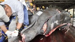 Caçadores de baleias japonesas mataram 122 baleias minke grávidas. Foto de arquivo.
