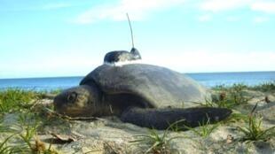 Les plages de Papouasie sont un endroit de choix pour la nidification de plusieurs espèces de tortues marines.