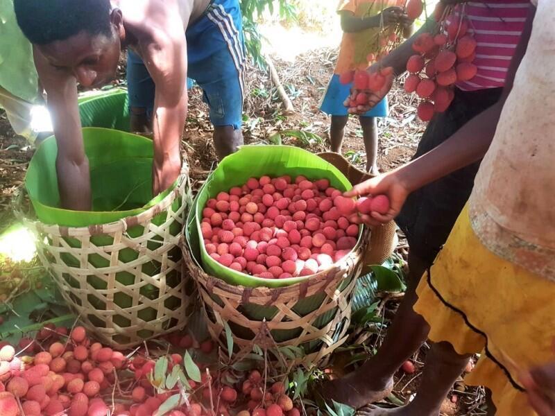 À Madagascar, il y a une surabondance de fruits en période de récolte qui ne sont pas consommés localement et qui pourrissent.