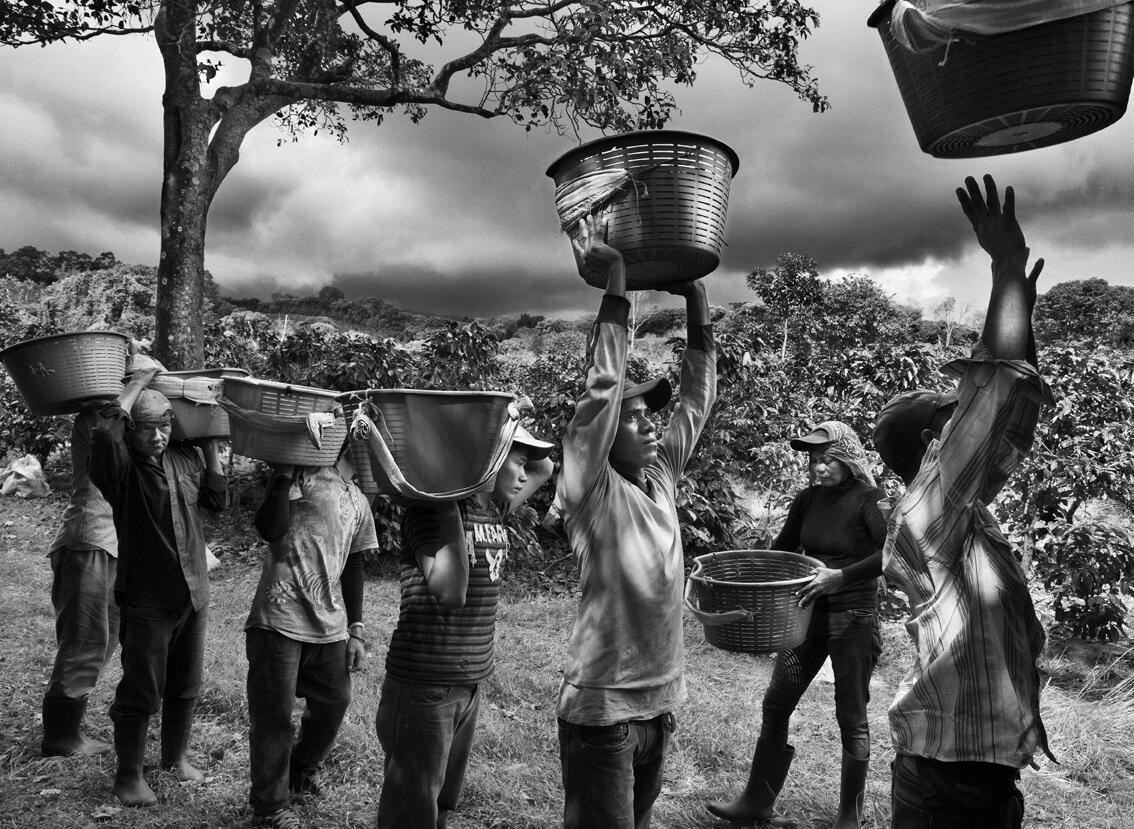 A seleção do café. Finca La Hilda nas encostas do vulcão Poas, região de San José, Costa Rica, 2013.