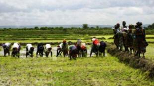 Des femmes produisent dans une rizière au Sénégal. (Photo d'illustration)