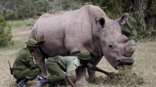 最后一头雄性北部白犀牛苏丹生前在肯尼亚Ol Pejeta自然保护区