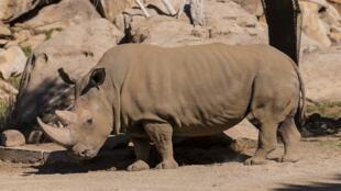 Le rhinocéros blanc du Nord, Angalifu, est mort dans le zoo de San Diego le 15 décembre 2014.