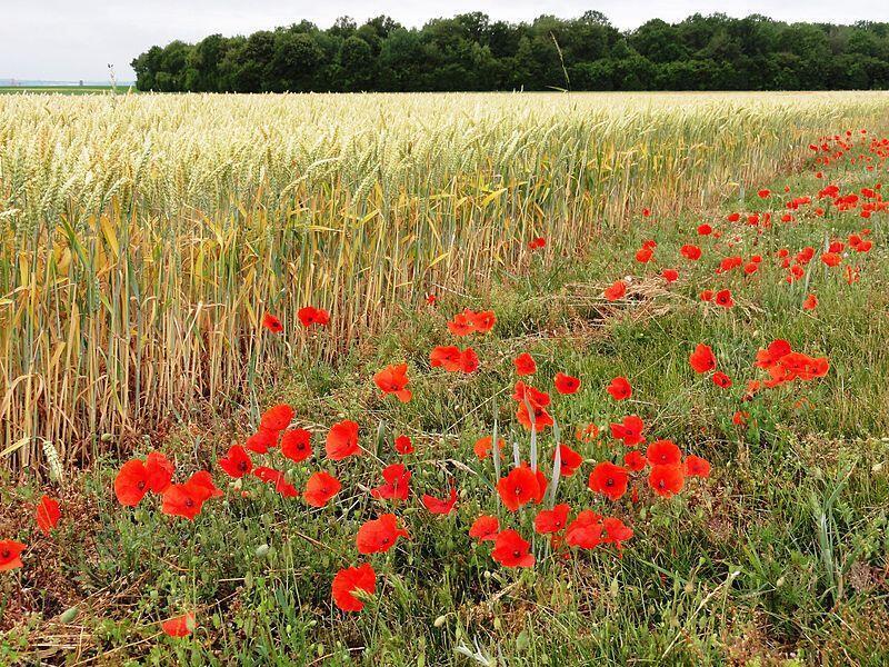 Anh túc đỏ (coquelicot) : Một biểu tượng của nông thôn nước Pháp.