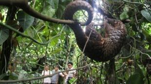 存档图片:穿山甲 Un pangolin en Indonésie.