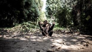 singe chimpanzé congo rdc primate