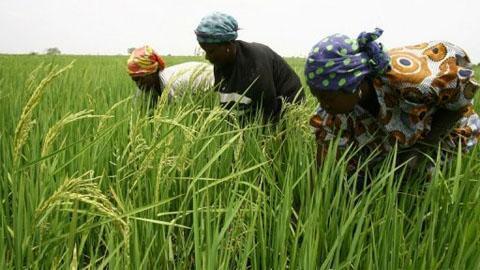 布基纳法索的农民在稻田里劳作