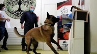 Dressage d'un chien renifleur à détecter un morceau de tissu qui a été infecté par la bactérie Covid-19 lors d'une session de formation à l'Ecole nationale vétérinaire d'Alfortville à Maisons-Alfort, près de Paris, le 19 mai 2020.