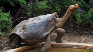 Диего с 1976 года стал отцом 800 черепах и почти в одиночку спас свой вид от вымирания