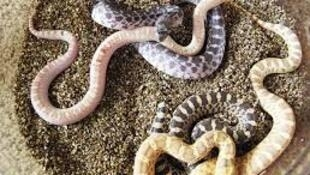 Nigeria has many snakes, many of them venomous.For illustrative purposes only
