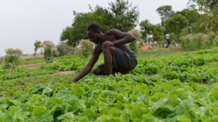 Culture de salades à Ndjamena, au Tchad.