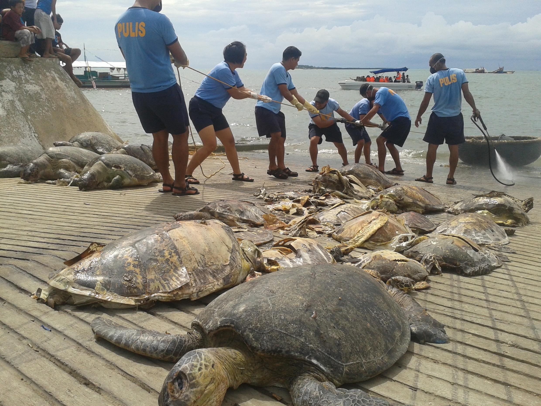 Une partie des tortues retrouvées sur le navire chinois intercepté dans la zone du «récif de la demi-lune», photographiées à Puerto Princesa le 11 mai 2014.