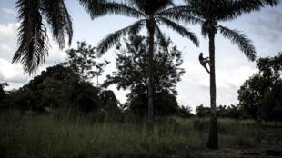 Un Congolais descend un palmier après avoir ramassé du vin de palme le 24 octobre 2017 dans le district de Kamonia.