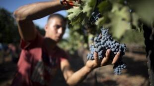 Сбор винограда на Голанских высотах