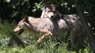 uropean gray wolves pictured in the semi-wildlife animal park of Les Angles, southwestern France. French Ecology and Agriculture ministers, Nicolas Hulot and Stephane Travert have allowed on July 20, 2017 the killing of up to 40 wolves in 2017