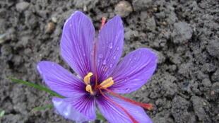 Цветок шафрана посевного «crocus sativus».