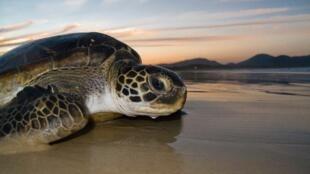 A tartaruga pente é uma das cinco espécies que vão às praias brasileiras para se reproduzirem.
