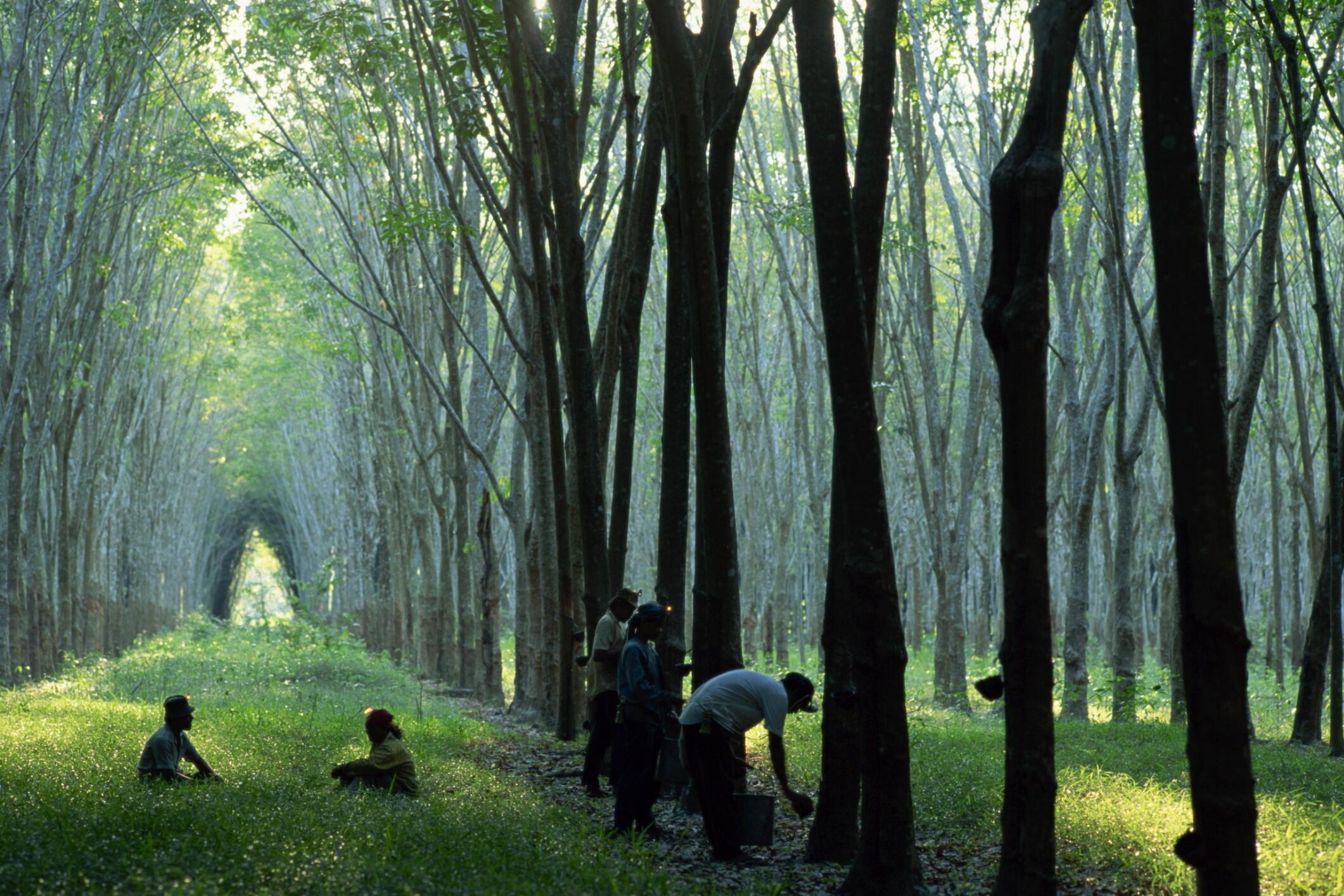 Une plantation d'hévéas, arbres à caoutchouc, près de Phuket, dans le sud de la Thaïlande.