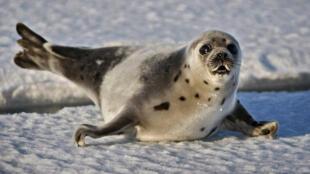 В Канаде охота на тюленей не запрещена