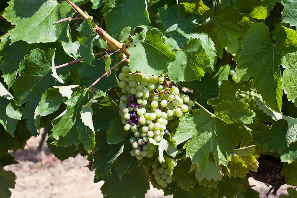 Местный белый виноград - сырье для арманьяка