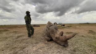 Najin, l'une des deux dernières représentantes vivantes de rhinocéros blancs du Nord, à la réserve kényane d'Ol Pejeta Conservancy, dans le parc national de Laikipia.