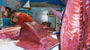 Malgré la baisse régulière des quotas et une surveillance renforcée, le thon rouge est une espèce de poisson largement menacée d'extinction.