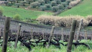En Sicile, se trouve le plus grand vignoble italien et l'un des plus diversifié qui soit.