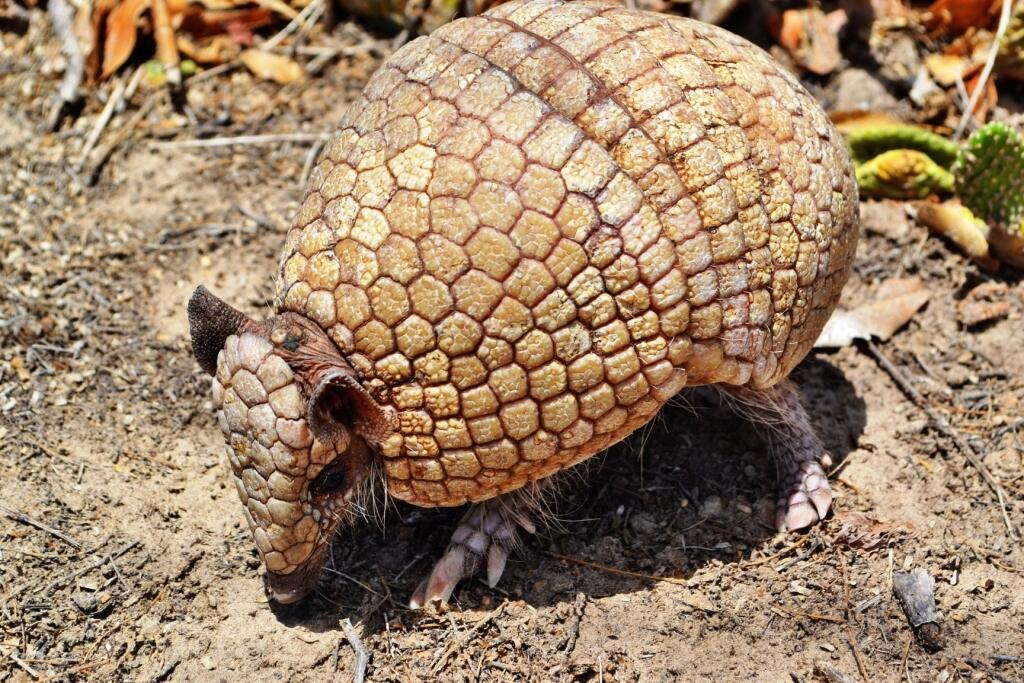 Tatu-bola, o animal que inspirou o mascote da Copa.