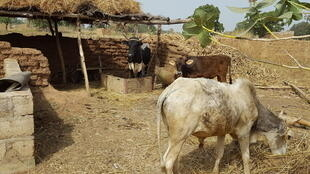 Elevage de bovins à Benda-Toega, un village de la commune de Pabré, Province du Kadiogo, région du Centre, au Burkina Faso.