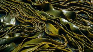 Des algues sur les côtes de la Nouvelle-Zélande.