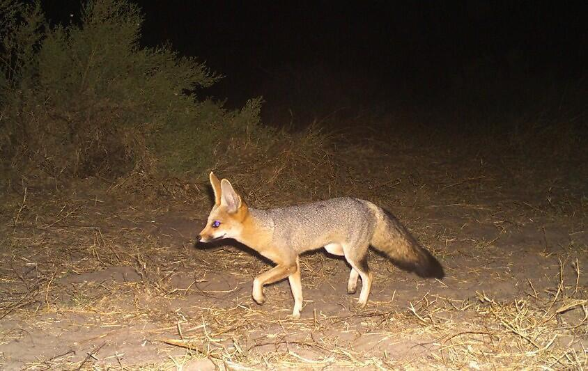 The nocturnal Cape fox, in Botswana.