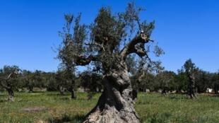 Un olivier infecté par la bactérie «Xylella fastidiosa», transmis d'arbre en arbre par un insecte, dans la ville italienne d'Alessano, dans les Pouilles, le 20 avril 2018.