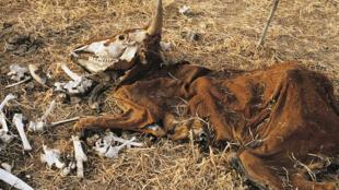 Carcasse de vache au Sahel (mars 2016), région durement touchée le changement climatique.