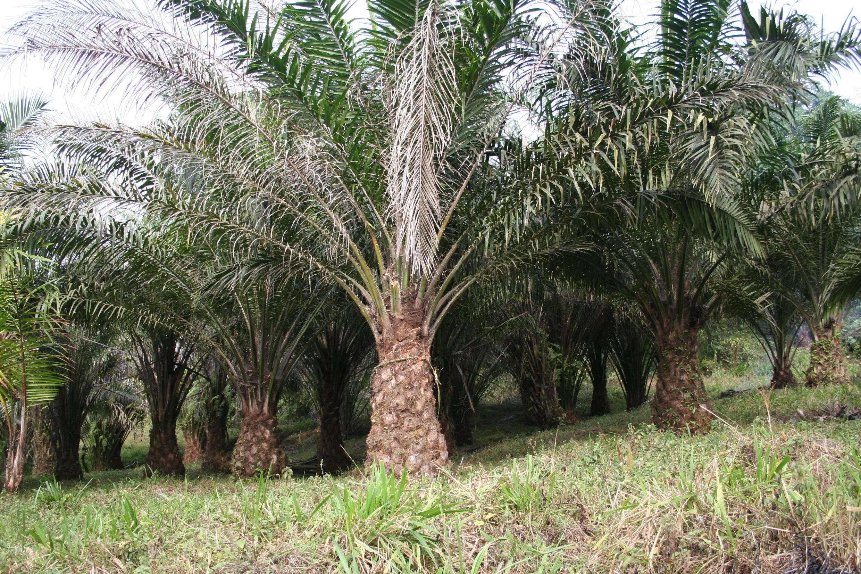 Plantation dédiée à l'huile de palme au Cameroun.