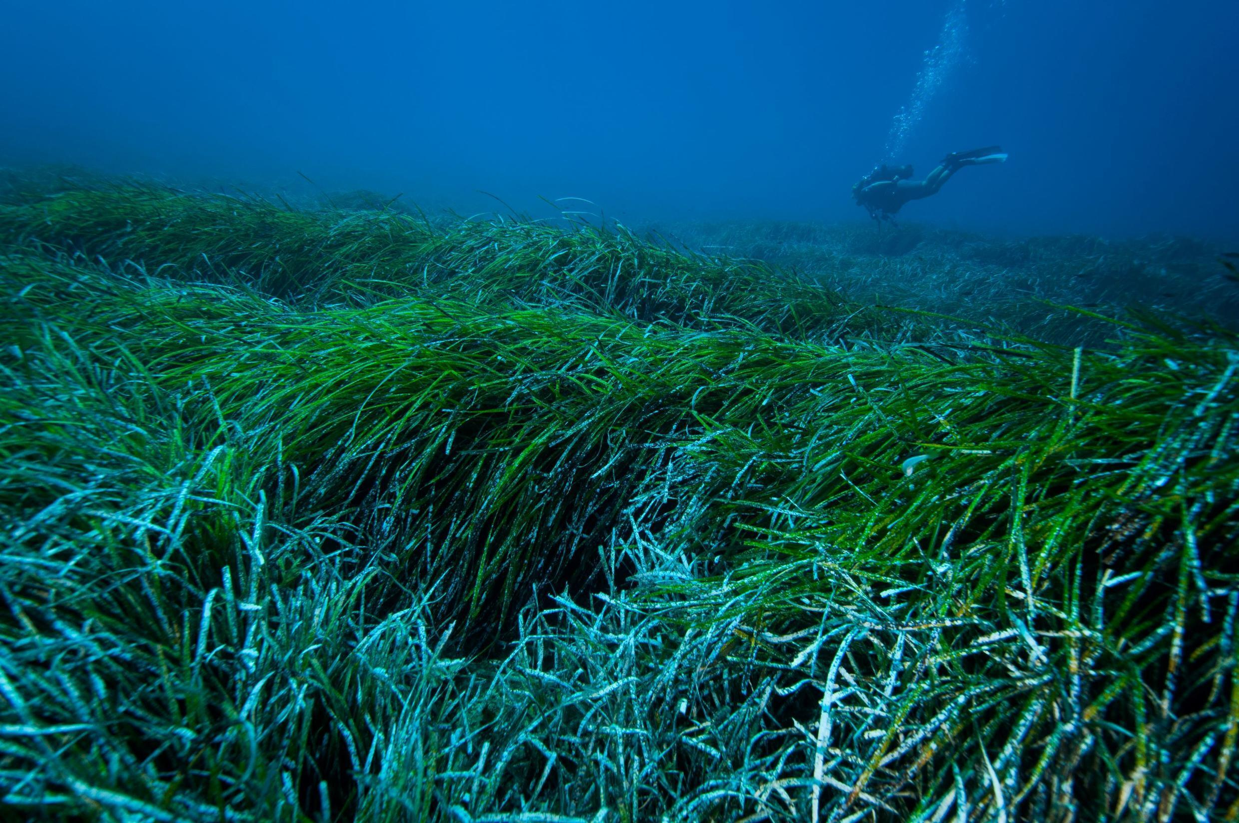 With no help from humans, seagrass balls may collect nearly 900 million plastic items in the Mediterranean alone every year